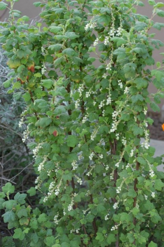 Ribes sanguineum white icicle plant photo of ribes sanguineum white icicle mightylinksfo
