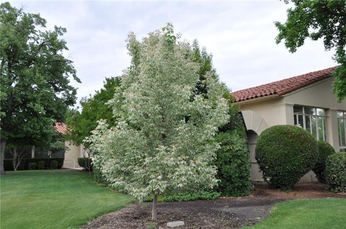 Acer negundo 39 flamingo 39 - Quel arbre pour petit jardin ...