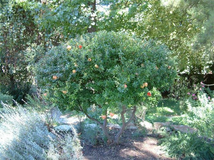Punica granatum nana — Florists Plantica